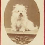 G. Arena Napoli. S.t. (ritratto di terrier scozzese) s.d. (1860 ca) mm 93x62 stampa fotografica all'albumina, incollata su cartone formato carte de visite timbro dello studio sul verso